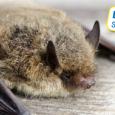 Venez à la rencontre des chiroptères Vendredi 28 août 2015, Ecospace de la Mie au Roy Les chauve-souris fascinent autant qu'elles inquiètent: venez découvrir les mœurs de ces animaux qui […]